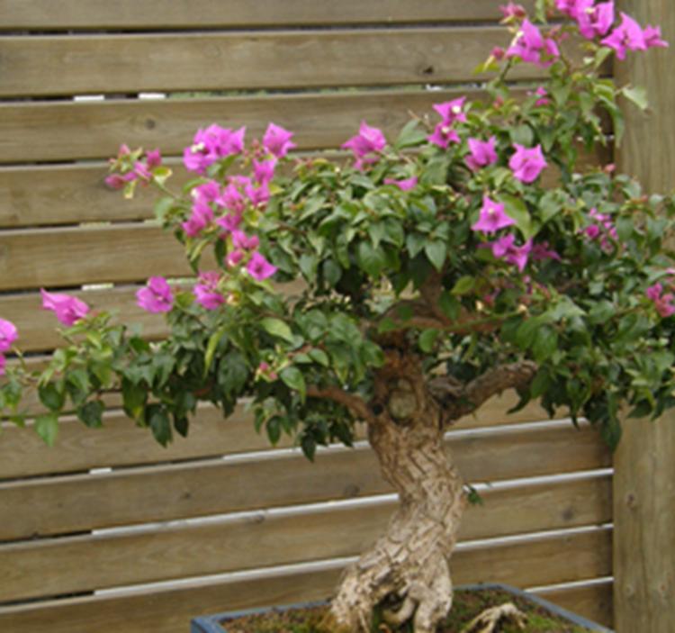visita guiada bonsai jardi botanic 932562220